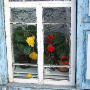 Бегонии в окне