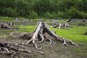 После затопления водохранилища деревья живьем ушли под воду.